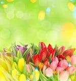 在被弄脏的绿色背景的郁金香 开花新本质系列弹簧 Ligh 库存照片