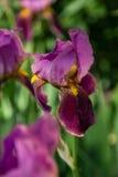 在被弄脏的绿色背景的黑暗的紫罗兰色虹膜 库存照片