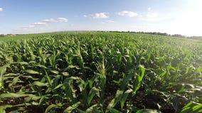 在被归档的玉米的空中飞行 股票录像