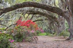 在被成拱形的小橡树树枝下的杜娟花 库存照片