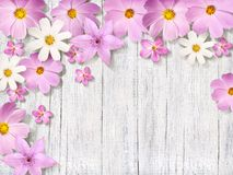 在被抓的委员会背景的桃红色春黄菊 免版税库存图片