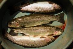 在被捉住之后的新鲜的鳟鱼 库存照片
