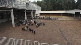 在被操刀的畜栏的飞行有漫游灰色绵羊和黑羊羔牧群的  影视素材