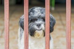 在被操刀的窗台的逗人喜爱的Shih慈济狗,看照相机 图库摄影