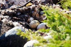 在被放弃的巢的两个加拿大鹅蛋 免版税图库摄影