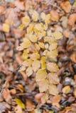 在被染黄的叶子的下来看法 苹果秋天对光检查袋装花瓶的构成干燥叶子 库存照片