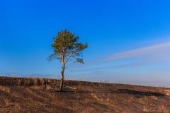 在被烧的地面上的孤独的杉木 库存照片