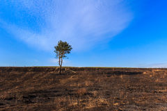在被烧的地面上的孤独的杉木 免版税图库摄影