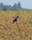 在被犁的领域的两只乌鸦 库存图片