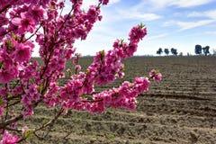 在被犁的领域的樱桃树在春天。 库存照片
