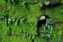 在被破坏的墙壁上的青苔在大桶Phou在占巴塞省 图库摄影
