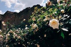 在被破坏的墙壁旁边的玫瑰 免版税库存图片