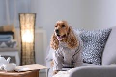 在被编织的毛线衣的逗人喜爱的猎犬狗在沙发在家 免版税库存图片