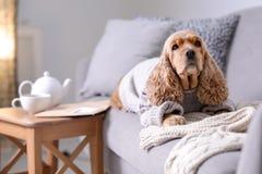 在被编织的毛线衣的逗人喜爱的猎犬狗 免版税图库摄影