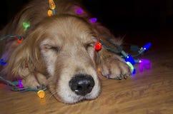 在被缠结的光的金毛猎犬 库存照片
