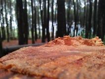 在被裁减以后的词根在杉木森林里 免版税库存图片