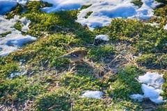 在被解冻的补丁的第一只鸟 花鸡 免版税库存照片