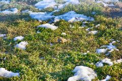 在被解冻的补丁的第一只鸟 花鸡 免版税库存图片