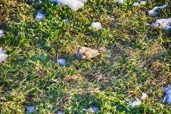 在被解冻的补丁的第一只鸟 花鸡 库存图片