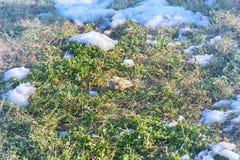 在被解冻的补丁的第一只鸟 花鸡 免版税图库摄影