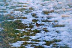 在被解冻的补丁的第一只鸟 花鸡 库存照片