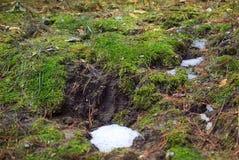 在被解冻的雪下的青苔 库存照片
