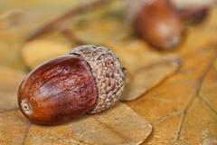 在被采取的橡木叶子的橡子特写镜头 图库摄影