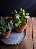 在被镀锌的金属盘子的赤土陶器盆的多汁植物 免版税库存图片