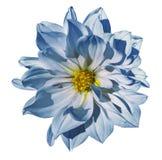 在被隔绝的白色背景的大丽花白蓝色花与裁减路线 特写镜头 没有影子 库存图片