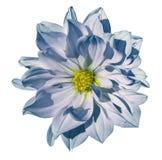 在被隔绝的白色背景的大丽花白蓝色花与裁减路线 特写镜头 没有影子 库存照片