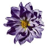 在被隔绝的白色背景的大丽花紫罗兰色花与裁减路线 特写镜头 没有影子 库存照片
