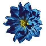 在被隔绝的白色背景的大丽花蓝色花与裁减路线 特写镜头 没有影子 免版税库存图片