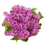 在被隔绝的白色背景的淡紫色花 免版税库存照片