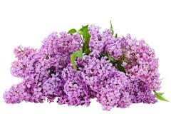 在被隔绝的白色背景的淡紫色花 库存图片
