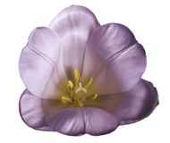 在被隔绝的白色背景的白紫色郁金香花与没有阴影的裁减路线 特写镜头 对设计 免版税库存图片