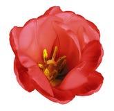 在被隔绝的白色背景的红色郁金香花与没有阴影的裁减路线 特写镜头 对设计 库存图片