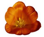 在被隔绝的白色背景的红黄色郁金香花与没有阴影的裁减路线 特写镜头 对设计 库存照片