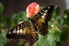 在被隔绝的绿色花叶子,接近的美丽的蝴蝶 库存照片