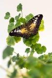 在被隔绝的绿色花叶子,接近的美丽的蝴蝶 免版税图库摄影