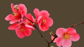 在被隔绝的背景的红色开花的柑橘 免版税图库摄影