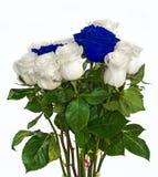在被隔绝的背景颜色的英国兰开斯特家族族徽没有背景,明亮的水多的玫瑰, 库存照片