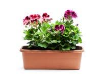 在被隔绝的长方形花盆的五颜六色的天竺葵花 免版税库存照片