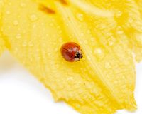 在被隔绝的雌蕊黄色黄花菜'Happy Returns'萱草属植物的瓢虫瓢虫科 免版税库存照片