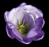在被隔绝的黑背景的紫罗兰色郁金香花与没有阴影的裁减路线 特写镜头 对设计 库存照片