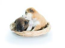 在被隔绝的一个柳条筐的小狗 库存图片