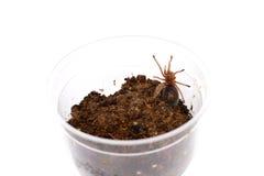 在被隔绝的塑料笼子的智利人玫瑰色吊索塔兰图拉毒蛛Grammostola rosea 库存图片