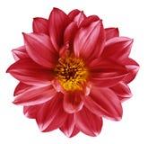 在被隔绝的白色的红色花隔绝了与裁减路线的背景 特写镜头 设计的美丽的明亮的红色花 大丽花 免版税图库摄影