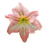 在被隔绝的白色的lilly软绵绵桃红色花 库存图片