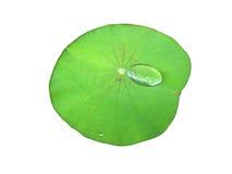 在被隔绝的白色背景的一片新鲜的绿色莲花叶子 免版税图库摄影