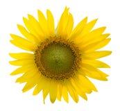 在被隔绝的白色背景的向日葵 库存图片